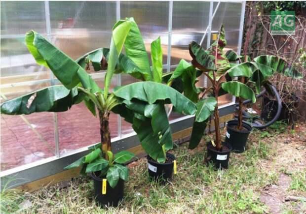 Как вырастить банан