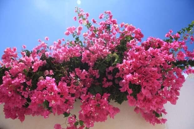 Бугенви́ллея — род вечнозеленых растений семейства Никтагиновые гирлянды, интересное, красота, природа, фотомир, цветы