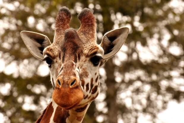 Пьяный посетитель зоопарка в Казахстане оседлал жирафа