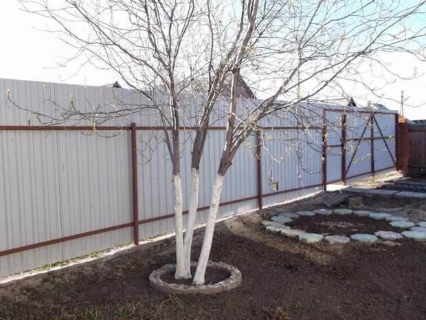 Делаем раствор для побелки деревьев
