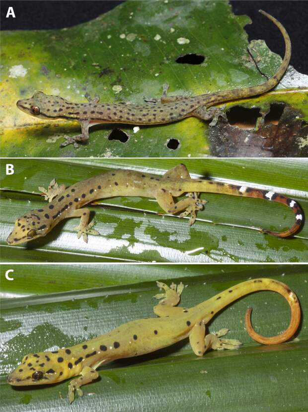 В Таиланде открыли геккона леопардовой расцветки