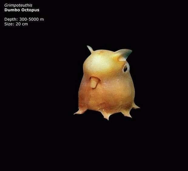 Осьминог Думбо (Grimpoteuthis)