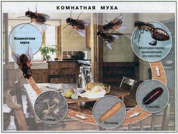 Цикл развития комнатной мухи