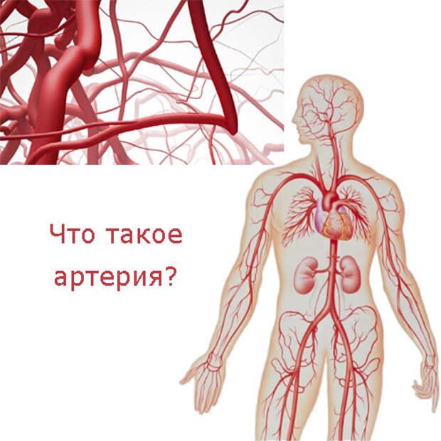 Что такое артерия?