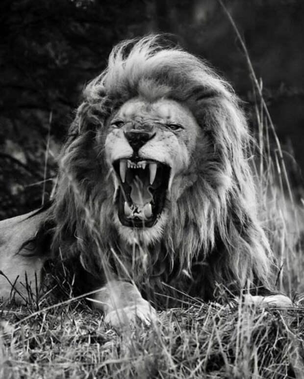 Величественные львы крупным планом