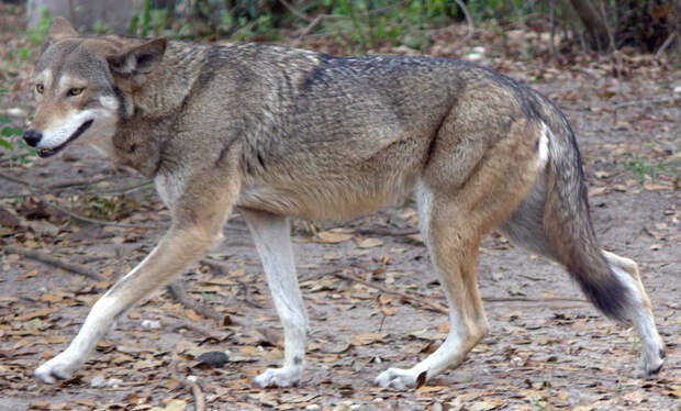 Рыжий волк Canis rufus