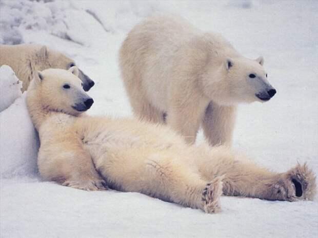 Гимнастика от белых медведей