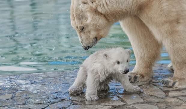 Ростовчан растрогало видео зоопарка, накотором белая медведица учит малыша плавать