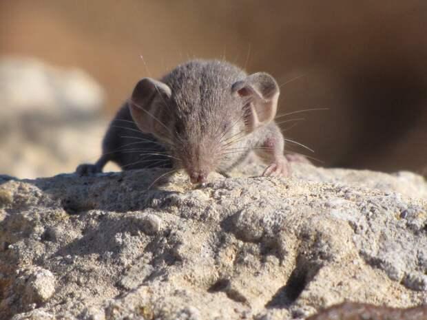 Самое маленькое млекопитающее в мире