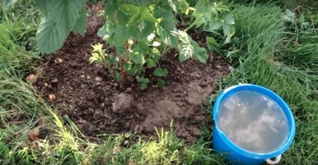 Подкормка для малины, после которой она завалит вас урожаем крупных сладких ягод