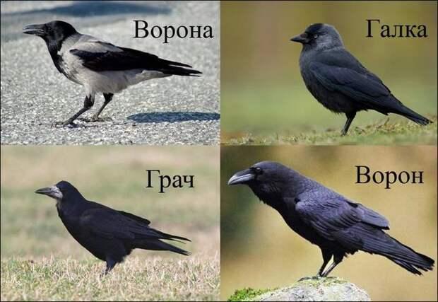 Птичьи мозги или феноменальный ум врановых