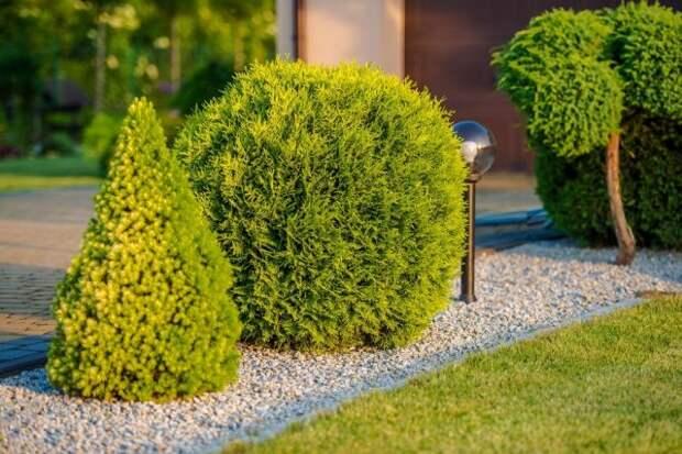 Растения для маленького сада туя
