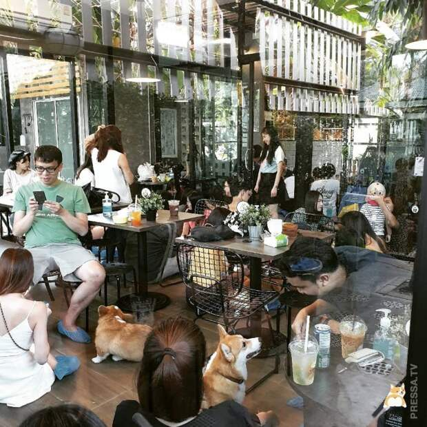 Кафе с корги в Таиланде