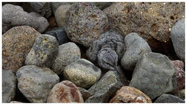 Тест на внимательность: найдите птенца в камнях за 20 секунд