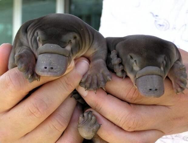 Невероятно милые детеныши утконоса.