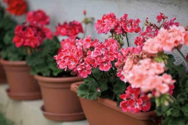 Элементарный метод, как заставить герань пышно цвести весь год