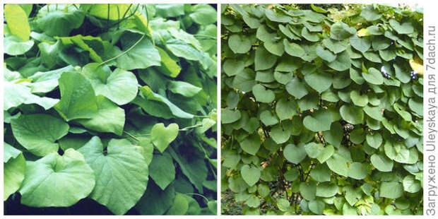 Кирказон крупнолистный, фото автора. Зеленый занавес из него. Фото с сайта dendroimage.de