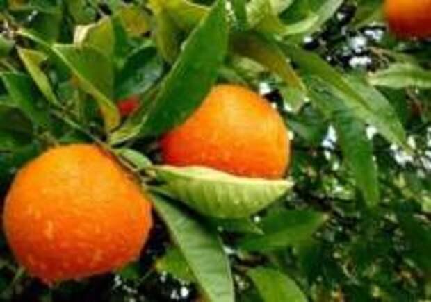 Шведы придумали пакеты из апельсинов
