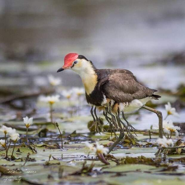 Эта необычная птица со множеством конечностей заслуживает звания «Отец года»