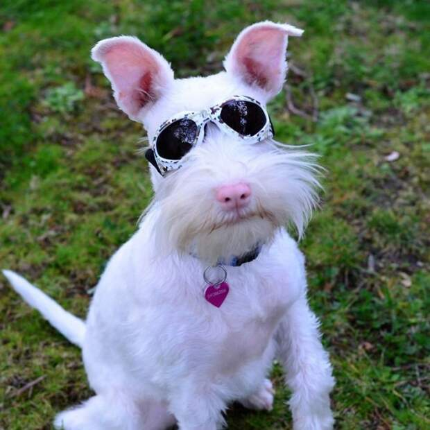 Щенку-альбиносу выписали темные очки, чтобы защитить его глаза