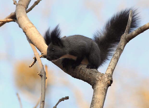 Окрас зверька зависит от места обитания. Потому на просторах необъятной можно встретить не только рыжих, но и бурых, серых и даже чёрных грызунов.