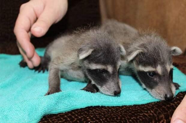 Воронежский зоопарк опубликовал фото весеннего молодняка — енотиков, лисят и волчат