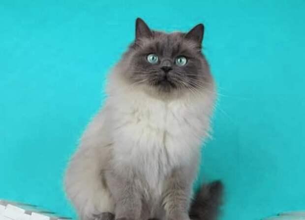 Кошка рэгдолл: как понять, что вы готовы завести животное в дом