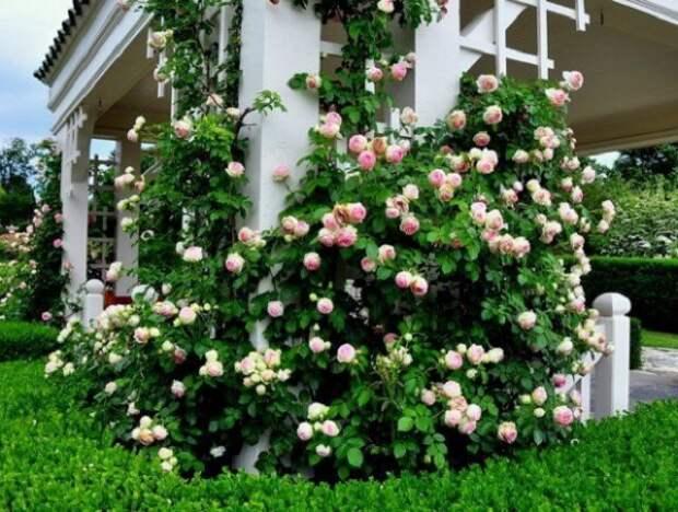 Растения для маленького сада розы