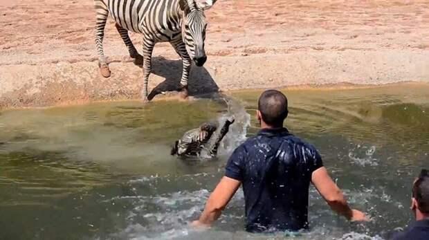 Работники зоопарка спасли от утопления новорожденную зебру, которая свалилась в водоём в мире, видео, добро, животные, зебра, люди, спасение