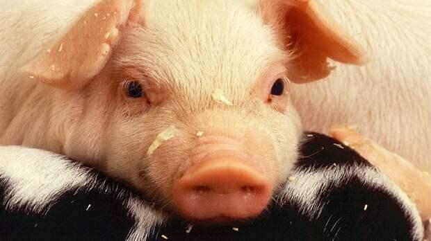 В Приамурье введён режим ЧС из-за вспышки африканской чумы свиней