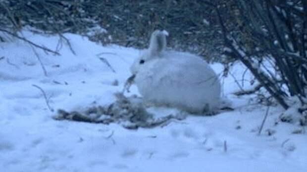 Чаще всего, поедая падаль, зайцы грызут и обгладывают кости.