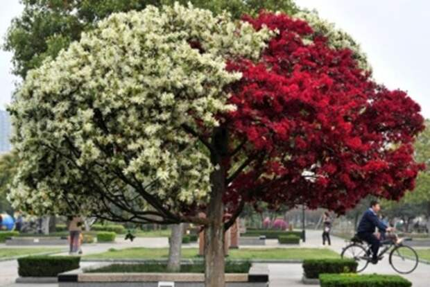 Аллея двухцветных деревьев