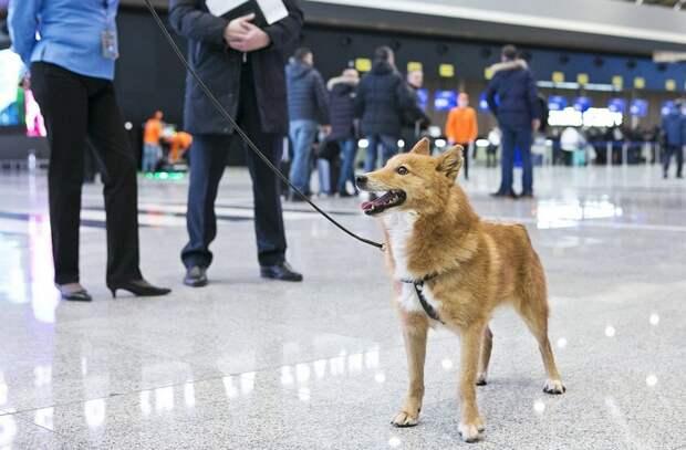 Шалайка - В России официально появилась новая порода собак