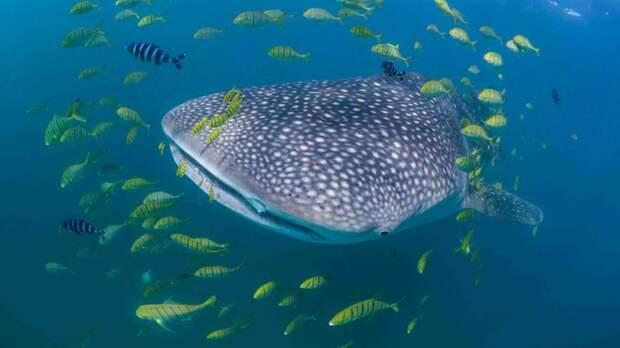 Китовые акулы могут быстро отрастить новый плавник