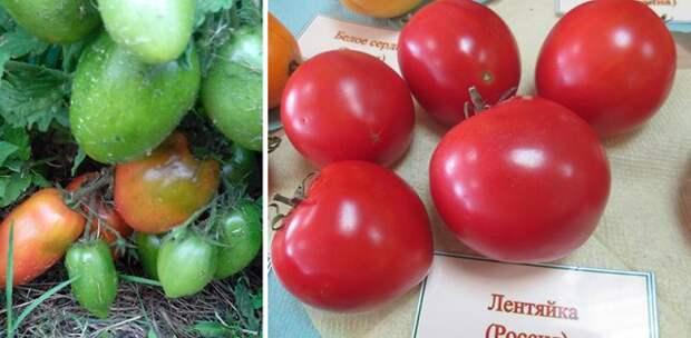 томаты открытого грунта сорта