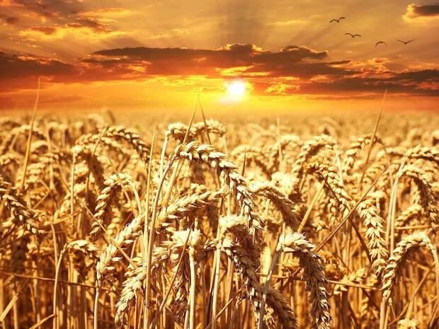 Россия окончательно подвинула западных конкурентов по экспорту пшеницы
