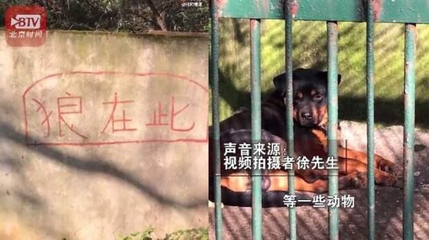 Китайский зоопарк выдавал собаку за волка