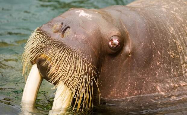 Моржи из «китовой тюрьмы» в Приморье попали под арест