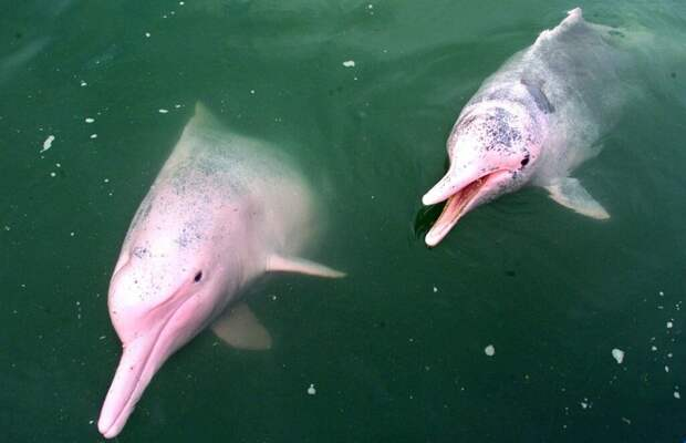 Боуто. Розовый дельфин