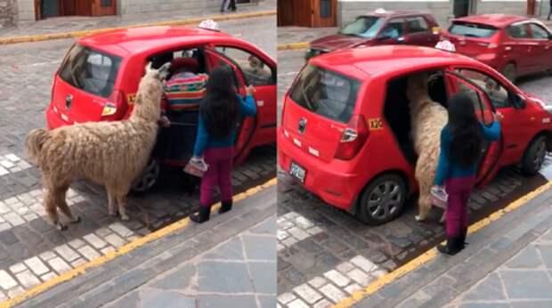 Альпака садится в такси. Эка невидаль!