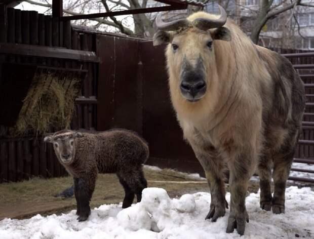 Краснокнижный сычуаньский такин родился в зоопарке Москвы