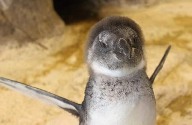 В Красноярске растет пингвиненок по кличке Чуди Чуди, красноярск, пингвин