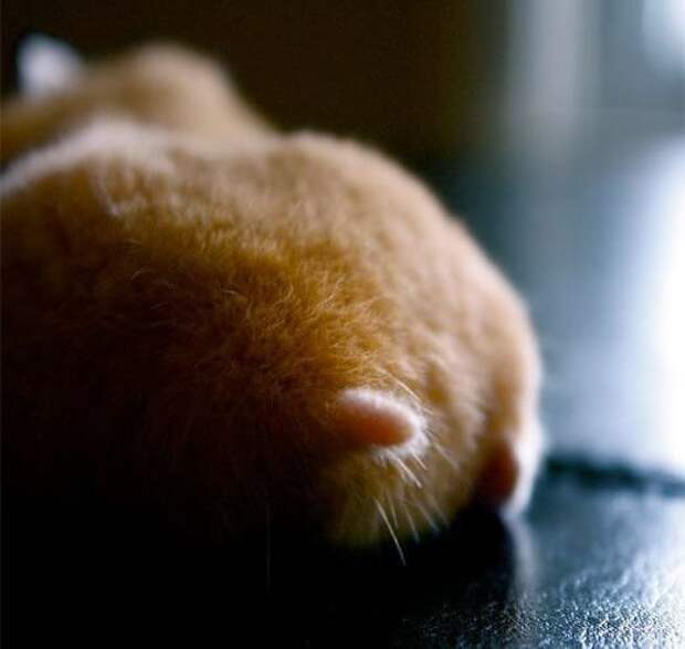 Хомячьи попы - новое милейшее средство для поднятия настроения грызуны, животные, мило, мимиметр, подборка, фото, хомяк, хомяки