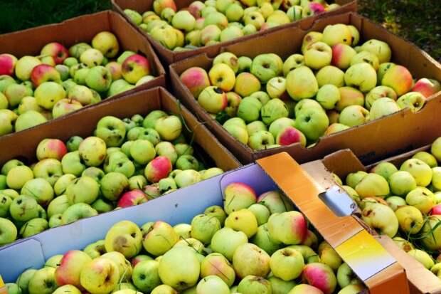 Яблоки для переработки