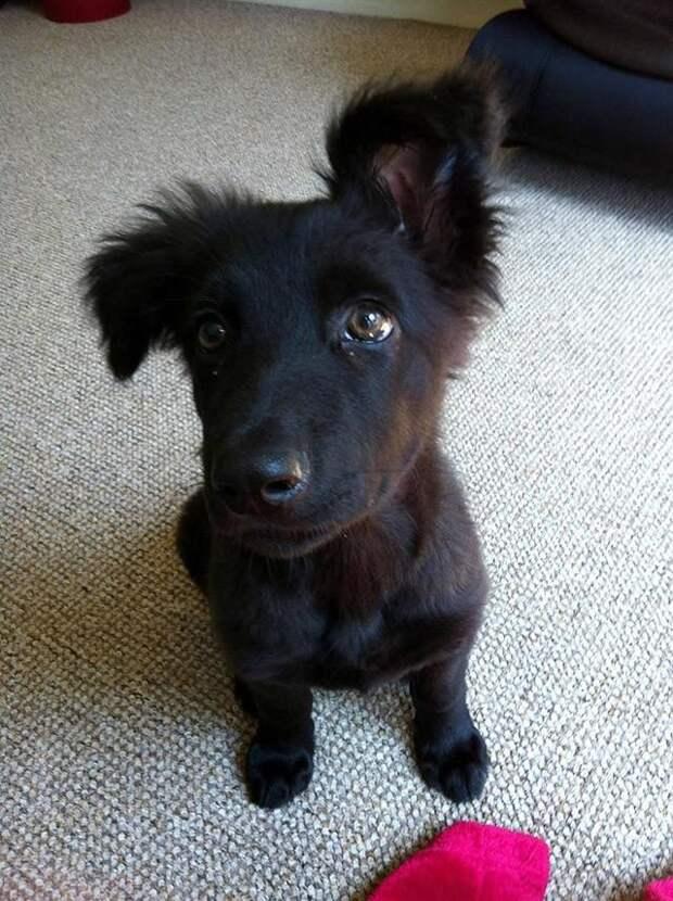 30 фото-доказательств того, что щенки содним поднятым ухом на90% милее обычных