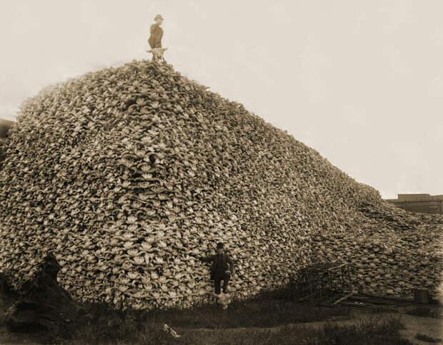 1892 год, гора бизоньих черепов ожидает отправки на перемалывание (из них делали удобрения). Массовое уничтожение бизонов в XIX веке было предпринято белыми американцами чтобы подорвать экономику индейских племен / ©Wikimedia Commons