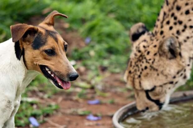 cheetah post 6 Про дружбу кошек с собаками