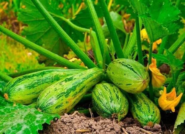 Подкормка кабачков для обильного плодоношения и от гниения.