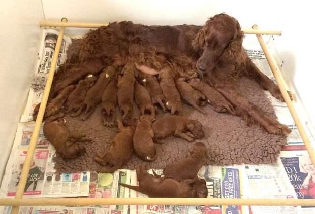 Новый мировой рекорд: родилось сразу 16 щенков ирландского сеттера!