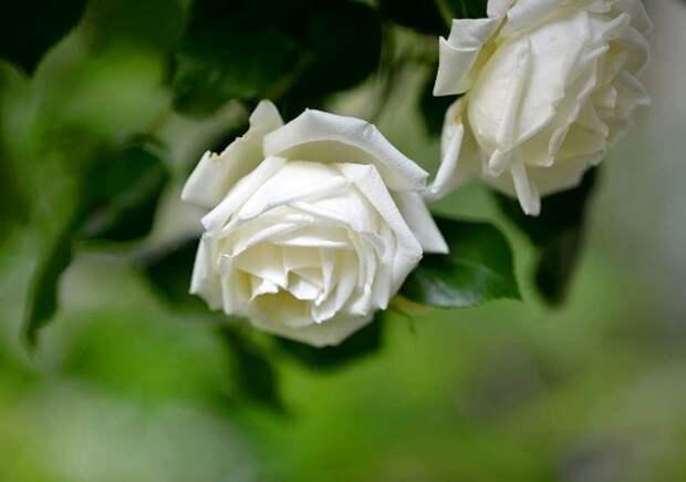 розы фото 170320 – 15